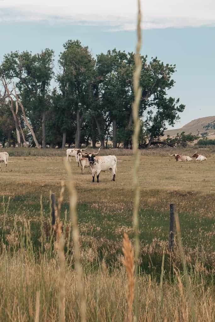 Nebraska cows grazing