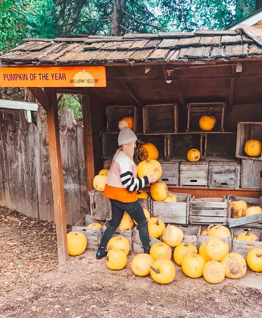 picking yellow pumpkins at the pumpkin patch