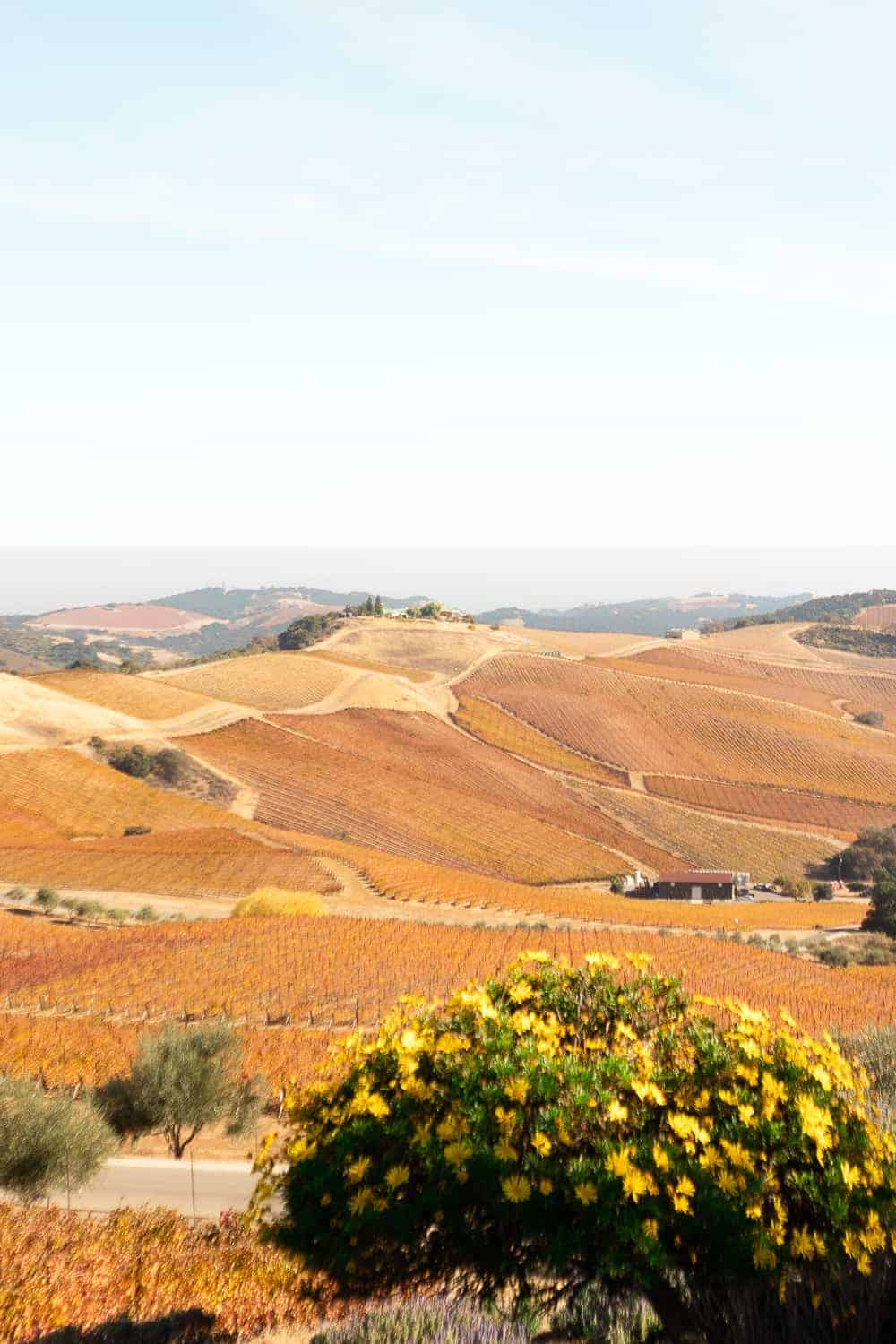 orange and yellow vineyards